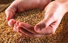 رضایت کشاورزان از عرضه جو و ذرت در بورس کالا