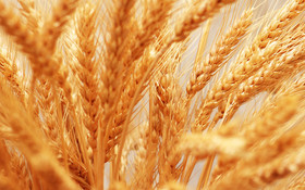 کاهش ناخالصی گندم به کمک طرح قیمت تضمینی در بورس کالا