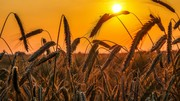 معامله بیش از ۲هزار تن گندم در قالب طرح قیمت تضمینی