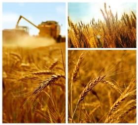 کاهش هزینههای دولت با عرضه گندم کل کشور در بورس کالا