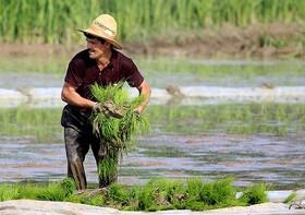سال هاست به تولید برنج مشغولم اما ۱۰ میلیون پس انداز ندارم/ به بورسی شدن برنج خوش بینیم