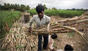 شکر، کام کشاورزان هندی را شیرین کرد