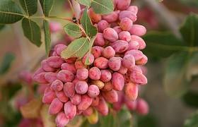 باغداران خواهان آغاز معامله پسته در بورس کالا هستند