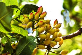 بورس کالا عامل تسهیل معاملات و دسترسی باغداران پسته به بازار واقعی
