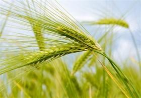 مزیتهای هشت گانه عرضه گندم در بورس