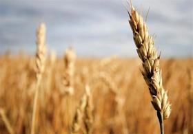 افزایش بهره وری با عرضه گندم در بورس کالا