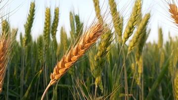 معامله بیش از ۱۵ هزار تن گندم در تالار محصولات کشاورزی