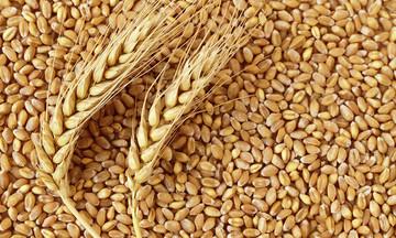 رومانی، دومین صادرکننده بزرگ گندم نرم به بازارهای غیر اتحادیه اروپا