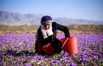 راه اندازی قرارداد آتی زعفران پوشال معمولی تحویل مرداد ۹۸