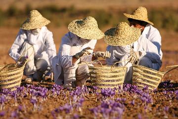 تولید بیش از ۱۴ تن زعفران در مهولات