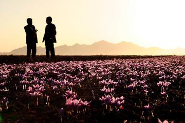 سود ۱۰ برابری دلالان بین المللی از فروش زعفران ایرانی