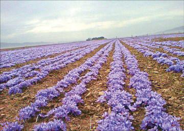 گزارشی از فصل بنفش مزارع / پایان ارزان فروشی زعفران به دلالان