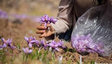 زعفران رشته ای را برای تحویل بهمن ماه معامله کنید