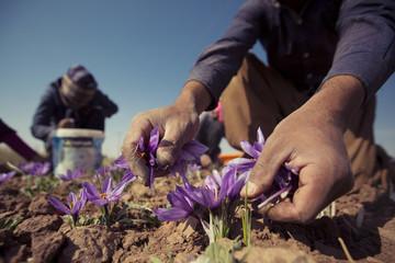 کشاورزان چگونه می توانند قیمت زعفران را بیمه کنند؟