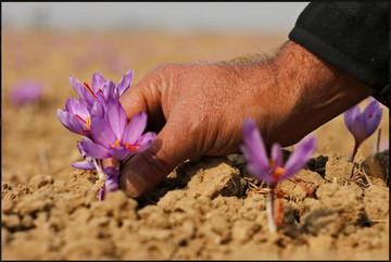 ۴۶۰هزار قرارداد آتی زعفران در بورس کالا منعقد شد