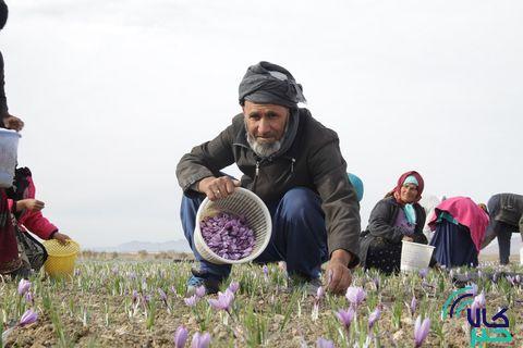 گزارش تصویری فصل برداشت زعفران در تربت حیدریه