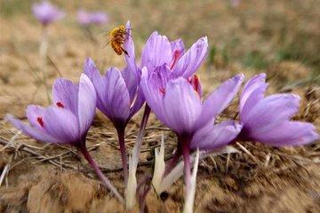 آتی زعفران یکساله شد/ ثبت بیش از ۱۴ میلیون قرارداد زعفرانی در بورس کالا