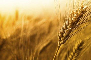 کاهش ۲۱ درصدی تولید محصول گندم نرم فرانسه