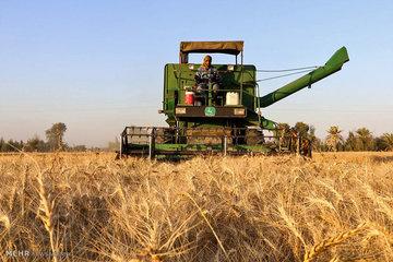آتش استرالیا در خرمن قیمت جهانی گندم