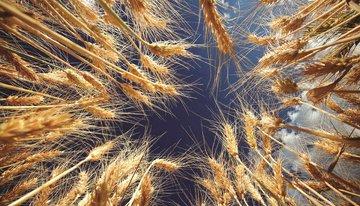 ضرورت نیاز به گندم کیفی برای استحصال آرد کیفی
