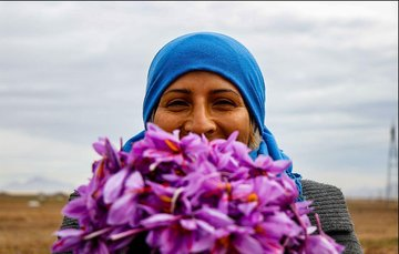 لبخند زعفرانی کشاورزان در فصل برداشت/ وام ۵۰۰ میلیون ریالی بدون ضامن