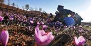 نگاهی به روش کشت و بازار زعفران