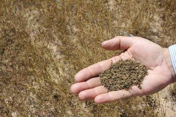 فواید عرضه زیره سبز در بورس کالا برای کشاورزان
