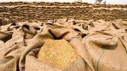 افزایش صادرات گندم دوروم کانادا