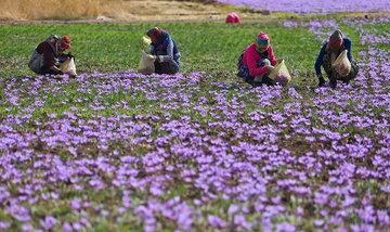 تصاویری زیبا از برداشت زعفران خراسان شمالی