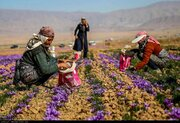 «آتی زعفران» به مرجع قیمت روز زعفران تبدیل شده است