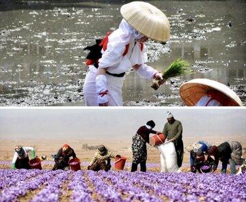 از قبض برنج «اوزاکا» تا طلای سرخ «قائنات»