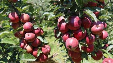 سیب وارد بورس کالا می شود/ ارزش بازار سیب ۴ هزار میلیارد تومان برآورد شد