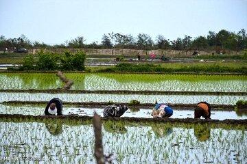 لزوم توسعه عرضه برنج و شلتوک تولید داخل در بورسکالا