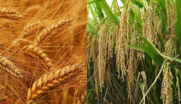 روند نزولی قیمت جهانی گندم و برنج آغاز شد