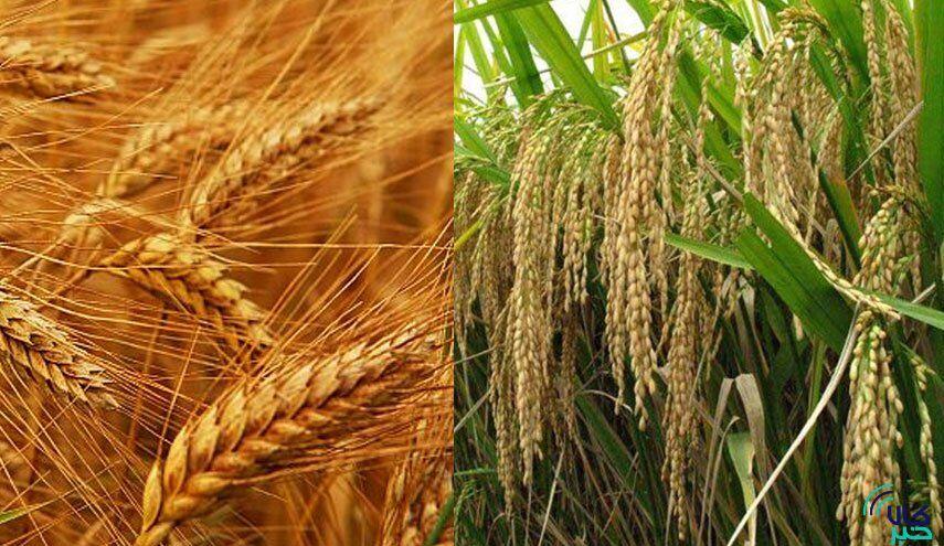 گندم+برنج