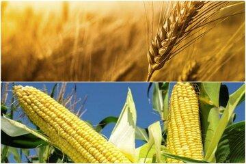 قیمت گندم و ذرت در بالاترین سطح ۹ سال اخیر